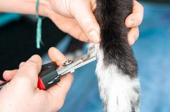 Veterinary cutting the nails of a greyhound in a clinic royalty free stock image