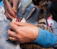 Veterinary Dentistry Royalty Free Stock Image