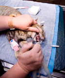 Veterinary Dentistry Royalty Free Stock Photography