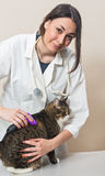 Veterinary doctor combs big gray cat Stock Photos