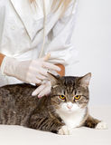 Veterinary doctor and domestic cat Royalty Free Stock Photography