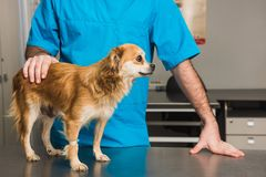 Veterinary doctor examines a mongrel dog. At vet ambulance royalty free stock photo