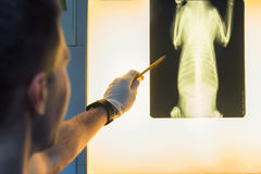 Veterinary doctor examining pet radiograph. Close-up of veterinary physician examining pet radiograph stock photography