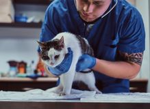 Veterinary doctor examining a sick cat with stethoscope in a vet clinic. Veterinary examining a sick cat with stethoscope in a vet clinic royalty free stock photography