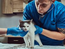 Veterinary doctor examining a sick cat with stethoscope in a vet clinic. Veterinary examining a sick cat with stethoscope in a vet clinic royalty free stock images