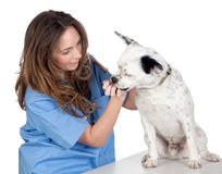 Veterinary with a dog for a review Royalty Free Stock Photos