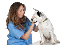 Veterinary with a dog for a review. Isolated on white background Royalty Free Stock Image