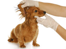 Veterinary examination Royalty Free Stock Photo