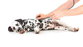 Veterinary examination of Dalmatian dog Stock Photography