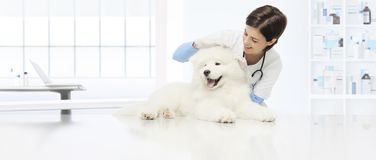 Veterinary examination dog veterinarian checks the ears dog on t. He table in vet clinic Stock Image