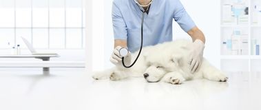 Veterinary examination sick dog on table in vet clinic, showing royalty free stock images