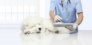 Veterinary examination sick dog and using digital tablet, on vet. Clinic table stock photos