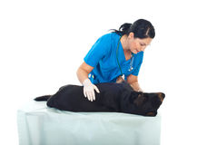 Veterinary examine  dog Stock Images