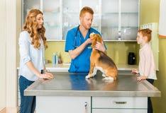 Veterinary examining Beagle dog at clinic Royalty Free Stock Photography