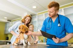 Veterinary examining Beagle dog at clinic Stock Photo
