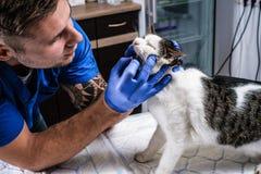 Veterinarian examining cat`s teeth and mouth in a vet clinic. Veterinary examining cat`s teeth and mouth in a vet clinic stock photography