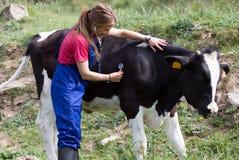 Veterinary on a farm Stock Photos
