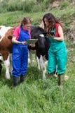 Veterinary on a farm Royalty Free Stock Photography