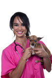 Veterinary girl with chihuahua dog. Isolated Stock Image