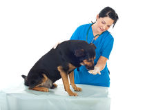 Veterinary give pill to dog Stock Photography