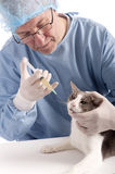 Veterinary giving an injection at a cat Stock Photo
