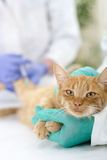 Veterinary giving the vaccine to the cat Stock Photos