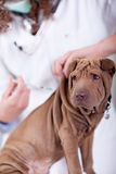 Veterinary  is giving the vaccine to the puppy dog Shar-Pei Royalty Free Stock Images