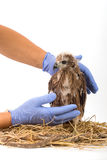 Veterinary holding young Sea-eagle prepare to examination Royalty Free Stock Photography