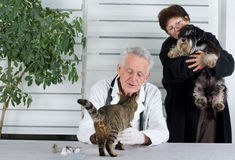 In veterinary infirmary. Woman is holding miniature schnauzer for examination while veterinarian checking tabby cat Royalty Free Stock Photography