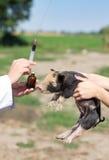 Veterinary injection Royalty Free Stock Photo