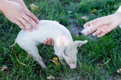 Veterinary injection Royalty Free Stock Photos