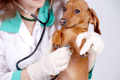 Veterinary inspect the dog Royalty Free Stock Photos