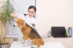 Veterinary makes an injection of  beagle. Veterinary makes an injection of dog  breed of beagle Stock Images