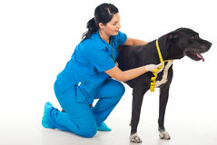 Veterinary measuring dog neck royalty free stock images