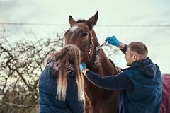 A veterinary man with his assistant treating a brown purebred horse, papillomas removal procedure using cryodestruction. Veterinary men with his assistant royalty free stock image