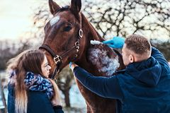 A veterinary man with his assistant treating a brown purebred horse, papillomas removal procedure using cryodestruction. Veterinary men with his assistant royalty free stock photography