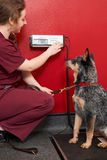 Veterinary Nurse Weighing Dog In Surgery. Veterinary Nurse Weighs Dog In Surgery Royalty Free Stock Images
