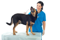 Veterinary and playful dog. Smiling veterinary woman want to clean ears to a playful dog Royalty Free Stock Photos