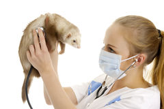 The veterinary surgeon examines a polecat. Stock Image