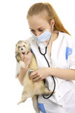 The veterinary surgeon examines a polecat. Royalty Free Stock Photo