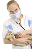 The veterinary surgeon examines a polecat. Stock Photos