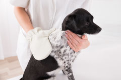 Veterinary Surgeon Examining Dog Royalty Free Stock Photography