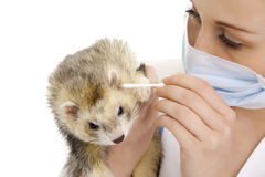 The veterinary surgeon with ferret. Stock Photo