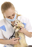 The veterinary surgeon with ferret. Royalty Free Stock Images