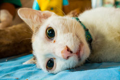 Veterinary surgeon neutering a cat Stock Images