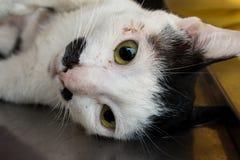 Veterinary surgeon neutering a cat Royalty Free Stock Photography