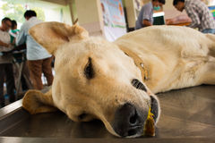 Veterinary surgeon neutering a dog Royalty Free Stock Image