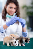 Veterinary surgeon ready to givin the vaccine to the little kitt Stock Image