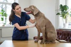 Veterinary surgeon and weimaraner dog at vet clinic.  royalty free stock image