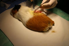 Veterinary surgery of dermoid cyst by guinea pig. Veterinary surgery of suspect dermoid cyst by guinea pig royalty free stock photos